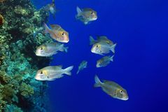 Shoal of Bigeye emperor fish Stock Image