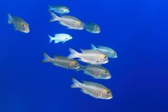 Shoal of Bigeye emperor fish Royalty Free Stock Photos