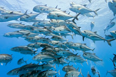 Shoal of Bigeye Jack from mexico Stock Photos