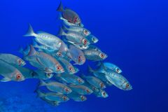 Shoal of bigeye perches. In the tropical waters of the red sea Stock Image