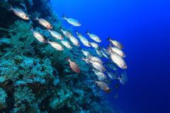 Shoal of bigeye perches. In the tropical waters of the red sea Royalty Free Stock Image