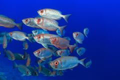 Shoal of bigeye perches. In the tropical waters of the red sea Royalty Free Stock Images