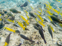 Shoal of black and yellow fish. Siam Gulf, Thailand Royalty Free Stock Image