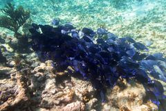 Shoal of blue fishes in the Caribbean Sea. Of Mexico Royalty Free Stock Photography