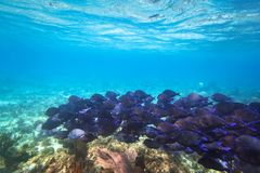 Shoal of blue fishes in the Caribbean Sea. Of Mexico Stock Images