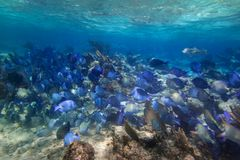 Shoal of blue fishes in the Caribbean Sea. Of Mexico Stock Image