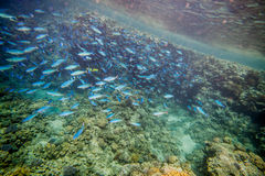 Shoal of blue fishes Royalty Free Stock Images