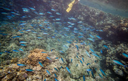 Shoal of blue fishes Royalty Free Stock Photo