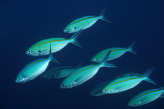 Shoal of Blue and gold fusilier. Blue and gold fusilier in Bali sea Stock Image