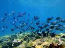 Shoal of Blue Tang fish and Ocean Surgeonfish. Over a coral reef, Caribbean sea Royalty Free Stock Photo