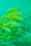 Shoal of Bluestripe snapper fish Royalty Free Stock Image
