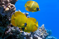 Shoal of butterfly fish Stock Photography