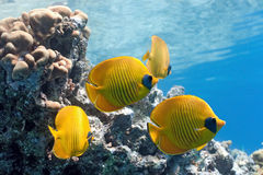 Shoal of butterfly fish on the reef Royalty Free Stock Image