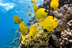 Shoal of butterfly fish on the reef Stock Image