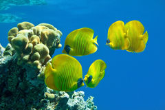 Shoal of butterfly fish on the reef Royalty Free Stock Photo