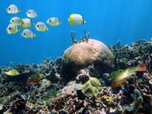 Shoal of butterflyfish above a coral reef Stock Photos