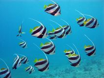 Shoal of butterflyfishes Royalty Free Stock Image