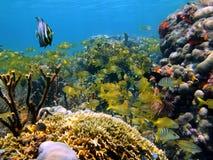 Shoal of caribbean tropical fis Stock Photo
