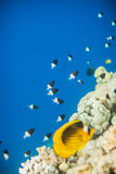 Shoal of Chromis dimidiata. Swimming near corals, Red Sea coral reef, Egypt. Clean morning water Stock Photos