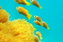 Shoal of clownfishes Stock Photo