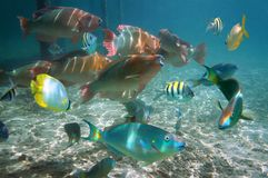 Shoal of colorful tropical fish in Belize. Shoal of colorful tropical fish in the Caribbean sea, Belize Royalty Free Stock Photos