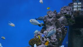 Shoal of colourful fishes swimming in huge aquarium. Coral reef on background stock footage