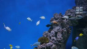 Shoal of colourful fishes swimming in huge aquarium. Coral reef on background stock video footage