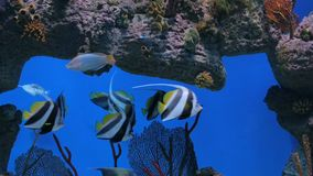 Shoal of colourful fishes swimming in huge aquarium. Coral reef on background stock video