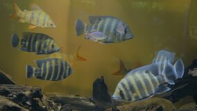 Shoal of colourful fishes swimming in huge aquarium. Entertaiment concept stock video footage