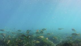 Shoal of common Mediterranean Sea fish. Shoal over seaweed forest in the Mediterranean seabed stock video footage