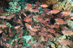 Shoal of crown squirrelfish on a coral reef royalty free stock image
