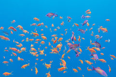 Shoal of exotic fishes Anthias in tropical sea, underwater. Shoal of exotic fishes Anthias in tropical sea on a background of blue water, underwater royalty free stock images