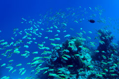 Shoal of fish Royalty Free Stock Image