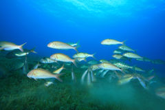 Shoal of Fish. Shoal of Yellowsaddle Goatfish feeding over seagrass in the Red Sea Stock Images