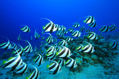 Shoal of Fish Royalty Free Stock Images