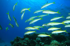 Shoal of Fish Stock Photo