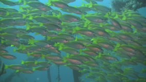 Yellowfin goatfish, Mulloidichthys vanicolensis on a wreck in Philippines. Shoal of yellowfin goatfish, Mulloidichthys vanicolensis on a wreck outside the island stock video