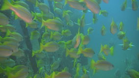 Yellowfin goatfish, Mulloidichthys vanicolensis on a wreck in Philippines. Shoal of yellowfin goatfish, Mulloidichthys vanicolensis on a wreck outside the island stock footage