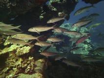 Shoal Of Fish Around Corals, Kauai, Hawaii Stock Photos