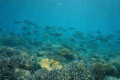 Shoal of fish bluespine unicornfish on coral reef Royalty Free Stock Photography
