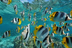 Shoal of fish butterflyfish Pacific ocean stock images
