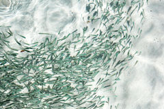 A shoal of fish in clear water. In Thailand Royalty Free Stock Photography