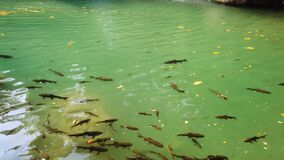 Shoal of fish in clear waterfall water