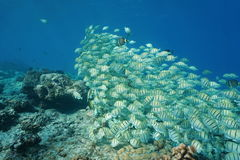 Shoal of fish convict tang Acanthurus triostegus Stock Photography