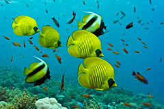 Shoal of fish on the coral reef Stock Images