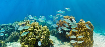 Shoal of fish on the coral reef Royalty Free Stock Images