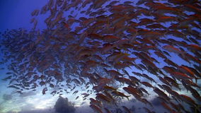 Shoal of fish on the coral reef stock footage