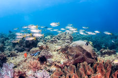 Shoal of fish on a coral reef. A shoal of fish swims over a tropical coral reef Royalty Free Stock Photo
