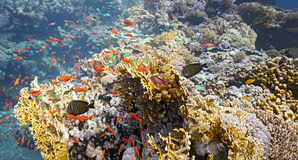 Shoal of fish on the fire coral Royalty Free Stock Images