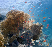 Shoal of fish on the fire coral Stock Image